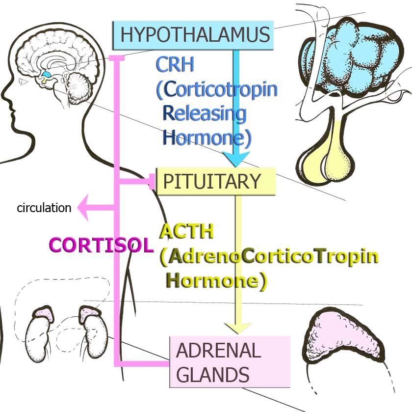 Hypothalamic-Pituitary Adrenocortical (HPA) axis or Stress Hormone Axis